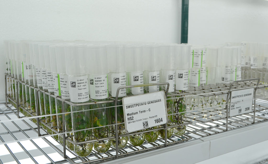 Sweetpotato germplasm at the CIP genebank. Photo: CIP