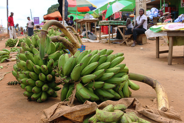 Cooking banana for sale at a market in Mbale, Uganda. Photo S.Quinn/RTB