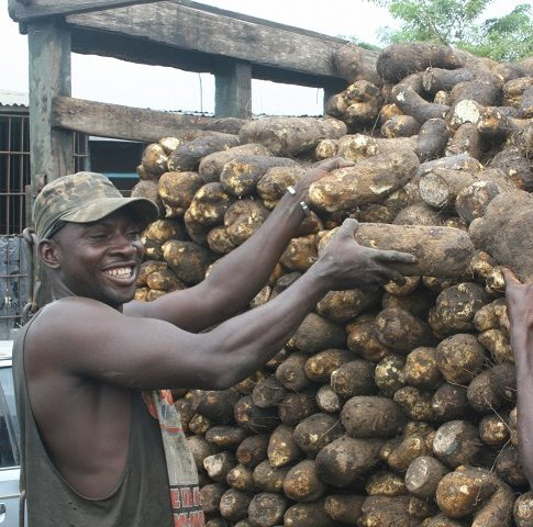 """Yams: Raising the profile of the """"King of Crops"""""""