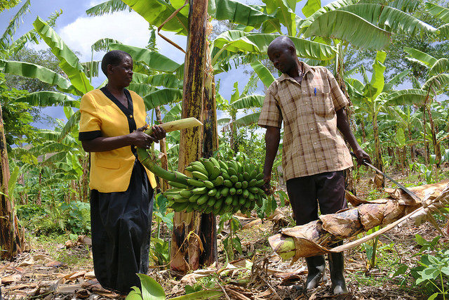 Transforming the value chain - one cooking banana at a time